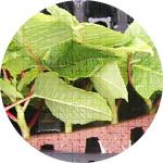 栄養繁殖系生産のイメージ