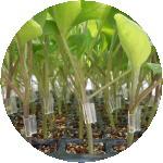 接木苗生産のイメージ